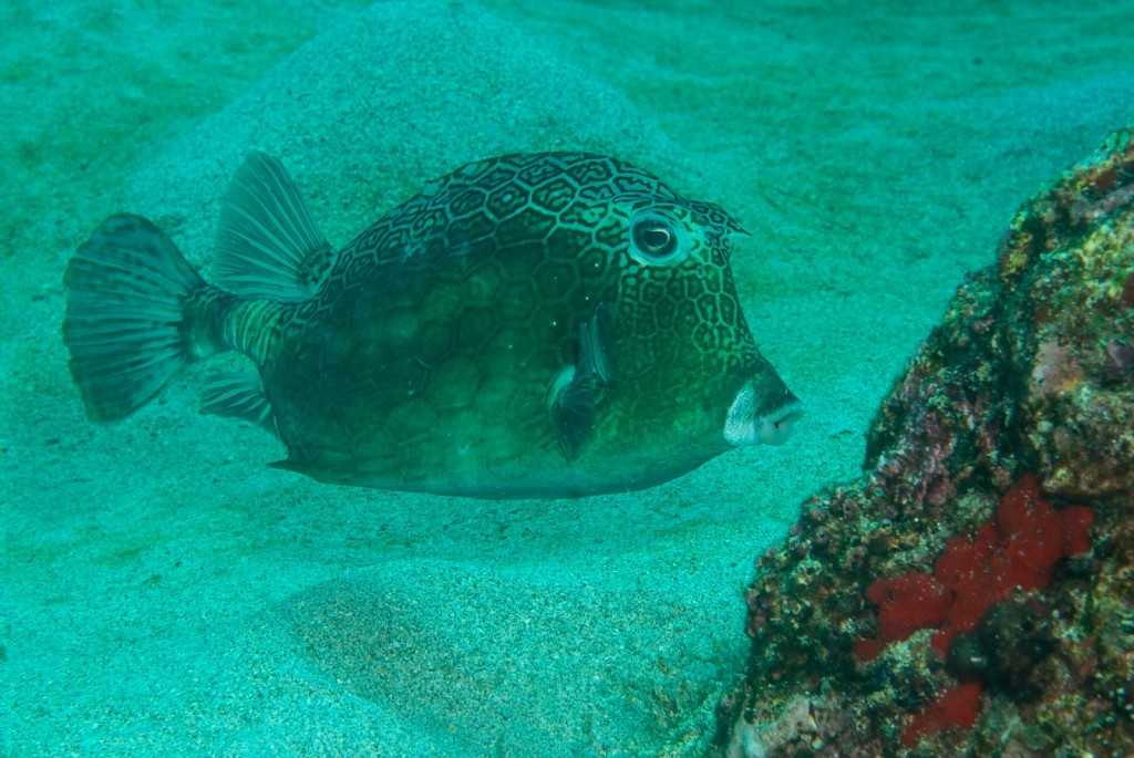 Acanthostracion notacanthus- (island cowfish)-1914