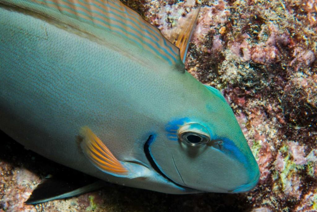 Acanthurus bahianus (ocean surgeonfish)