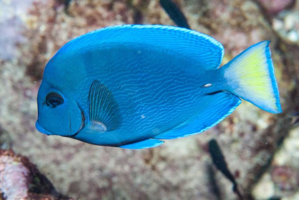 Acanthurus coeruleus (blue tang)