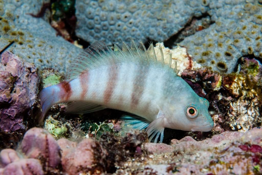 Amblycirrhitus earnshawi (white hawkfish)-1574