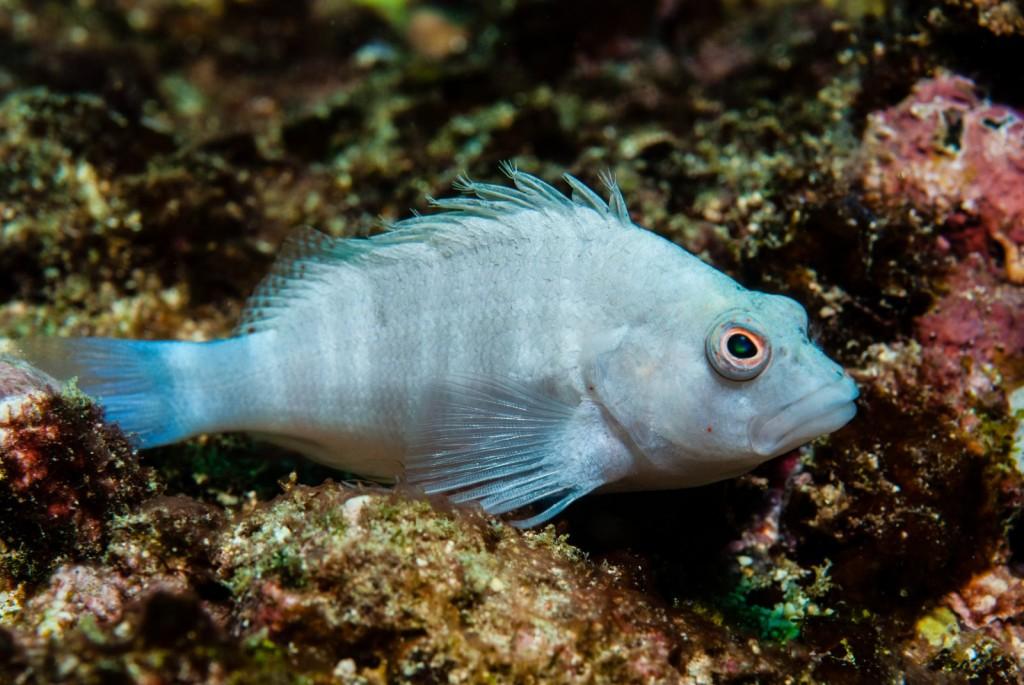 Amblycirrhitus earnshawi (white hawkfish)-2590