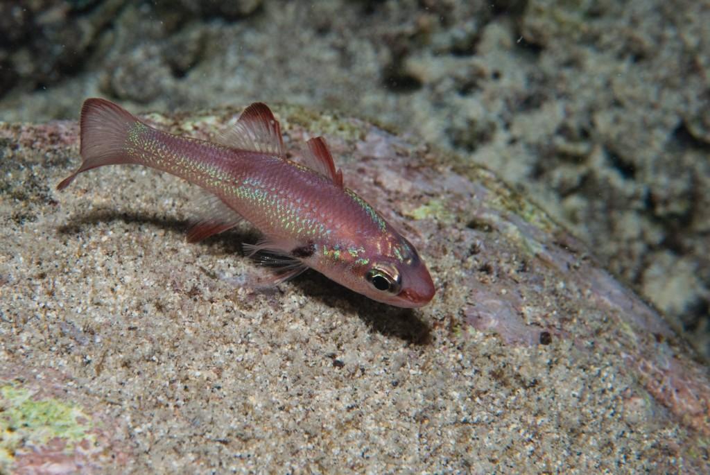 Apogon axillaris (axillary spot cardinalfish)-0243