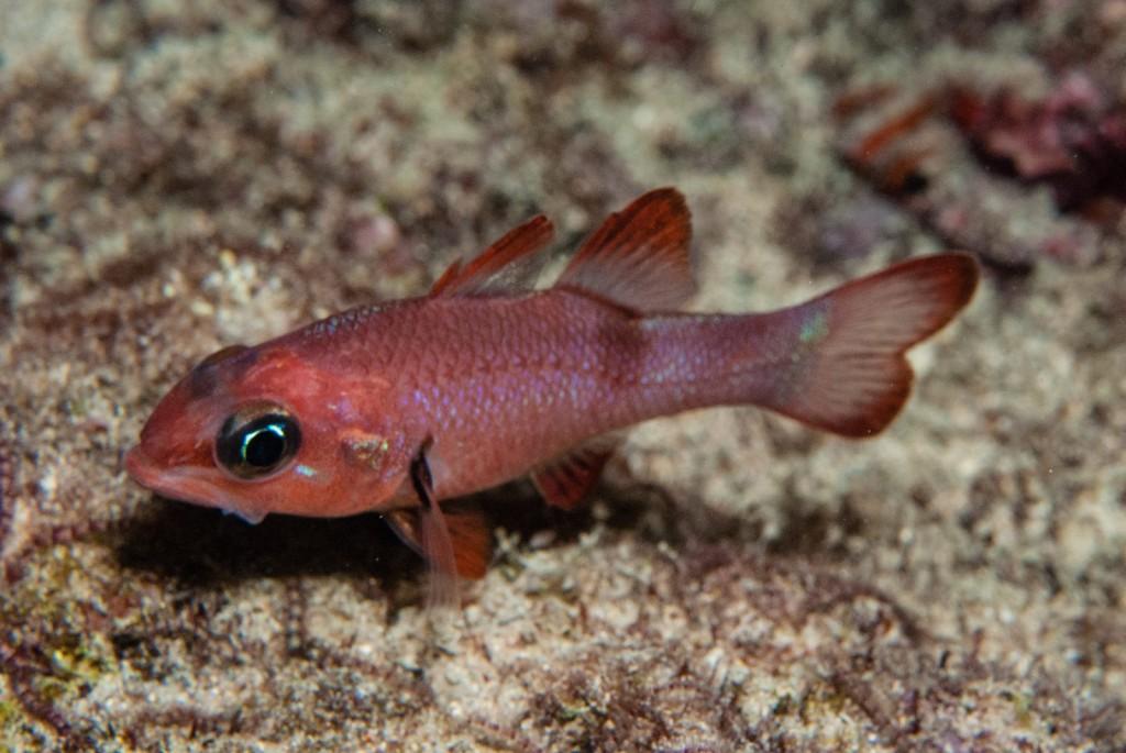 Apogon axillaris (axillary spot cardinalfish)-1621