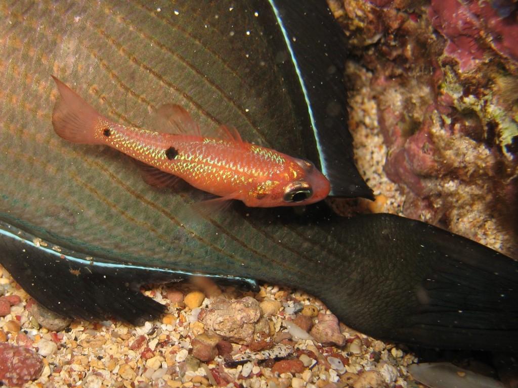 Apogon pseudomaculatus (twospot cardinalfish)-9074