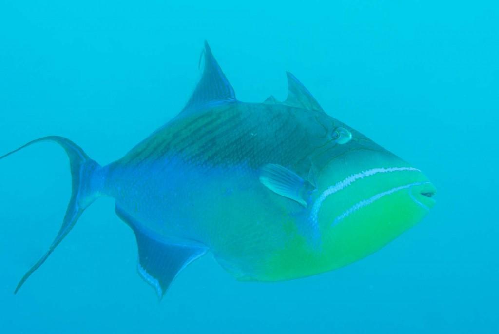 Balistes vetula (queen triggerfish)
