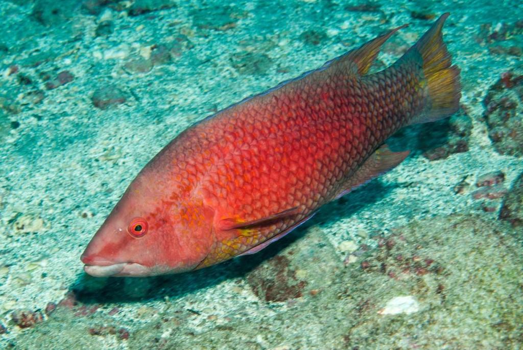Bodianus insularis (island hogfish)