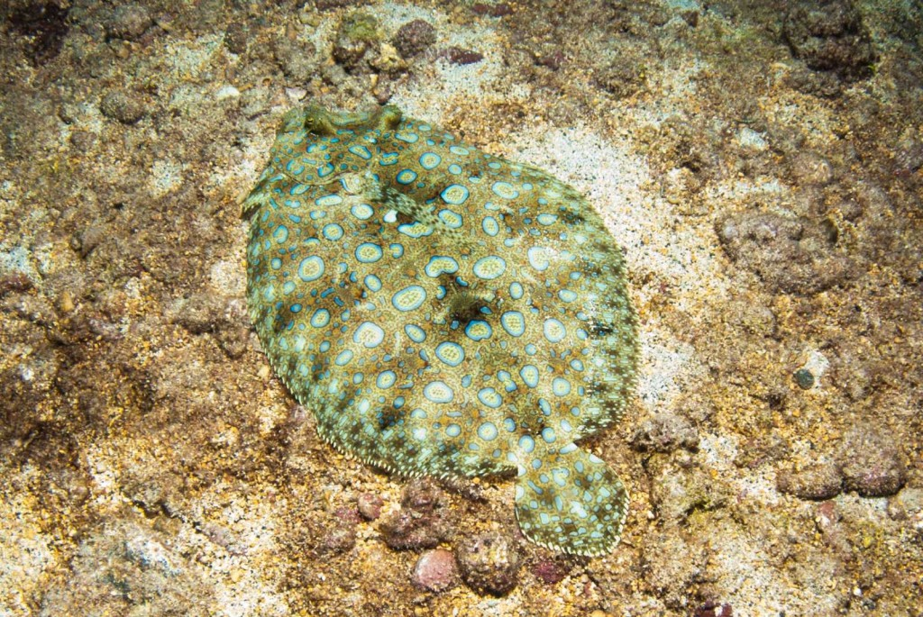 Bothus lunatus (peacock flounder)