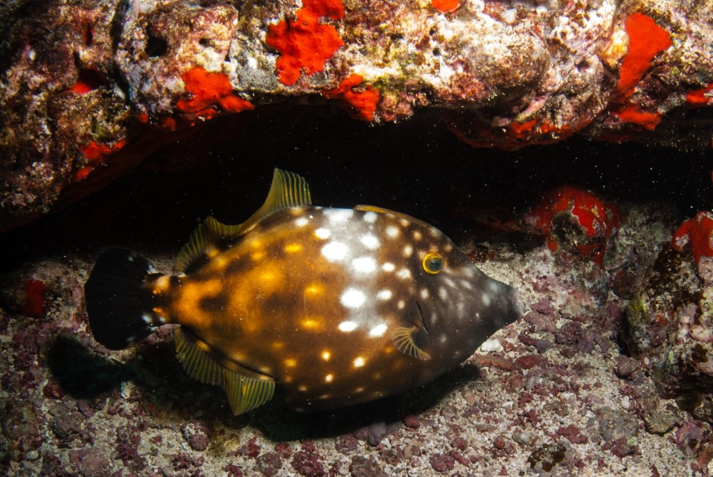 Cantherhines macrocerus (whitespotted filefish)-5473