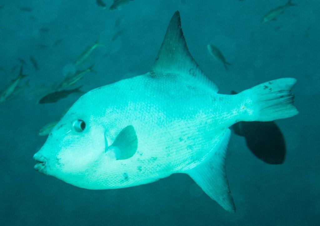 Canthidermis maculata (ocean triggerfish)