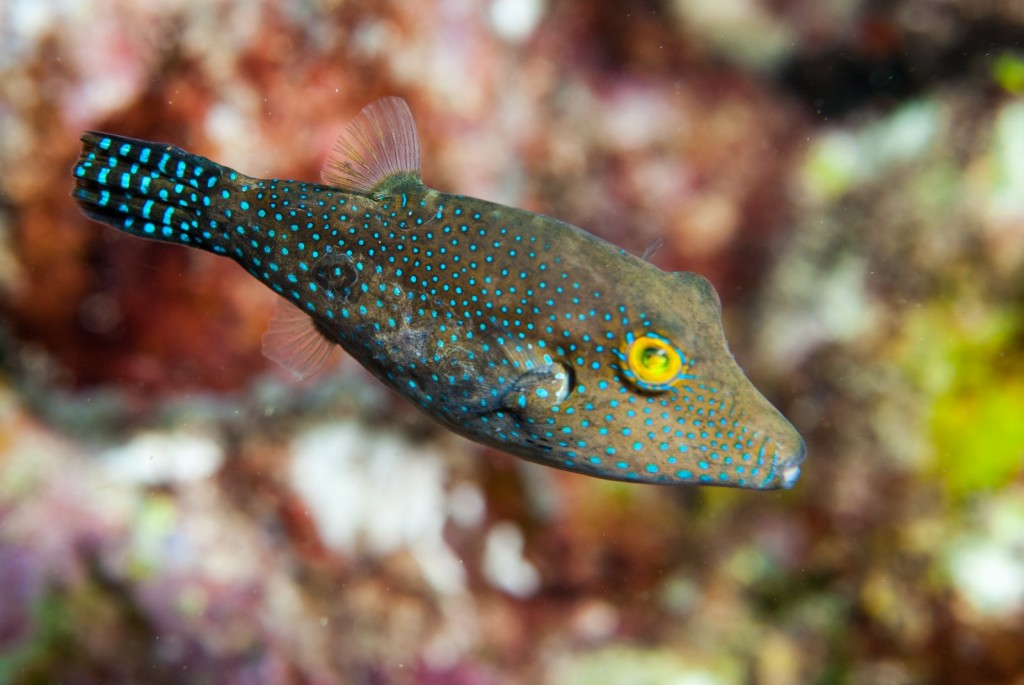 Canthigaster sanctaehelenae (St Helena pufferfish)-0816