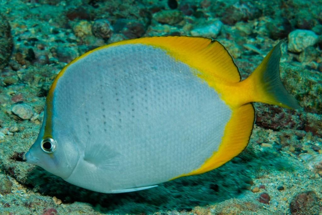 Chaetodon sanctaehelenae (St Helena butterflyfish)-1565
