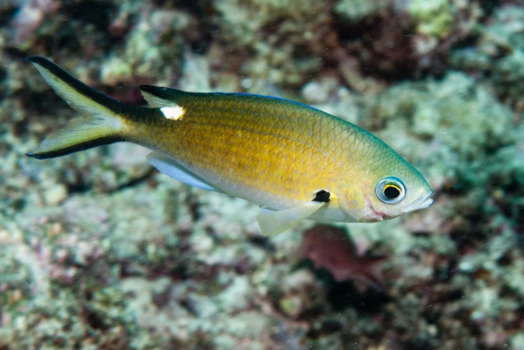 Chromis multilineata (Apollo damselfish)-1816