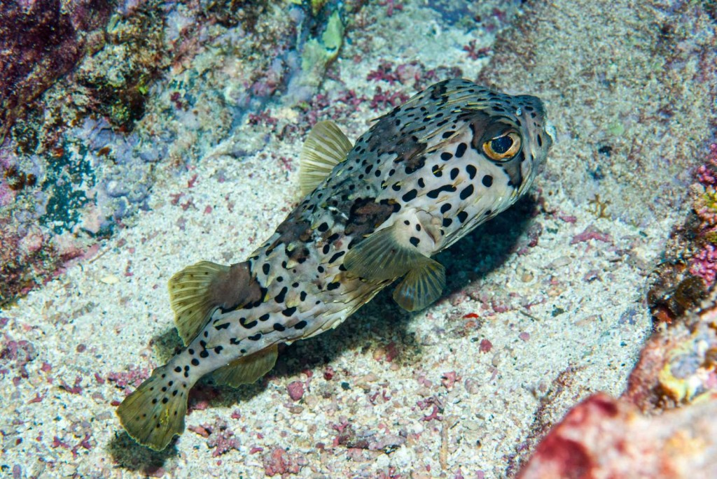 Diodon holocanthus (porcupine pufferfish)