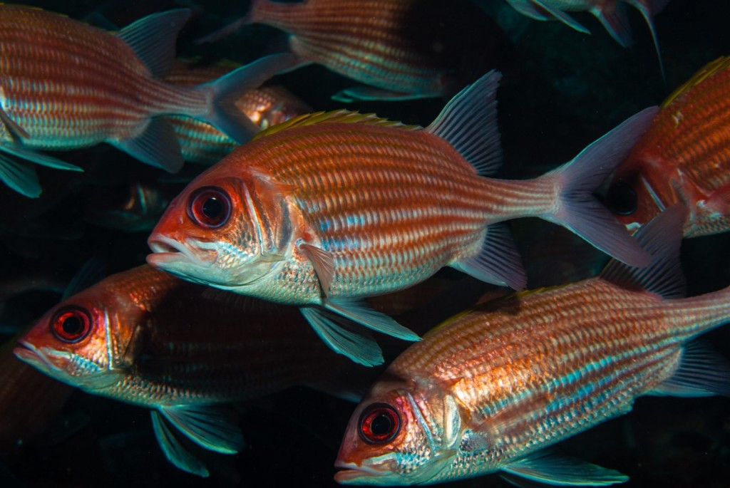 Holocentrus adscensionis (squirrelfish)-1135