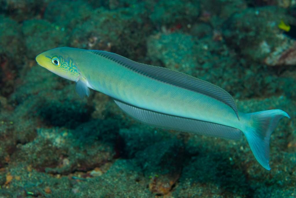 Malacanthus plumieri (sand tilefish)