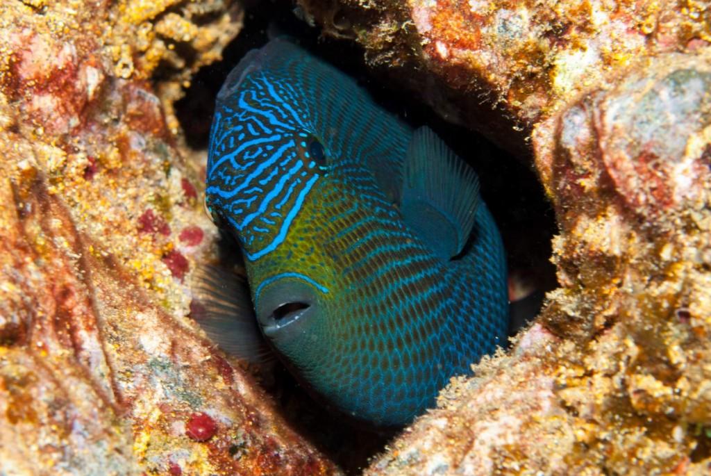 Melichthys niger (black triggerfish)