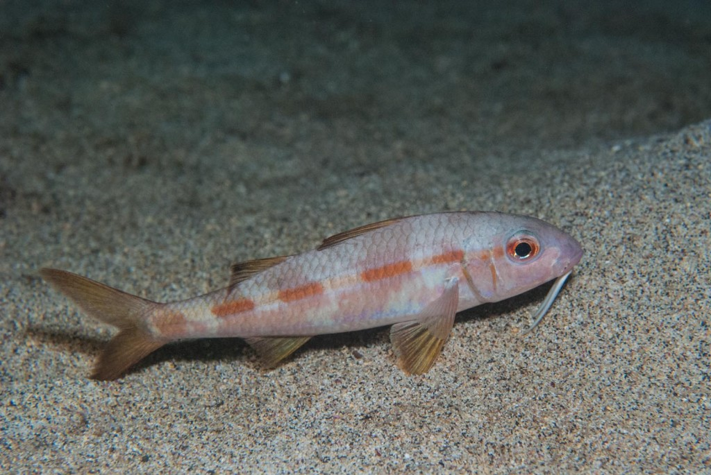 Mulloidichthys martinucus (yellow goatfish)