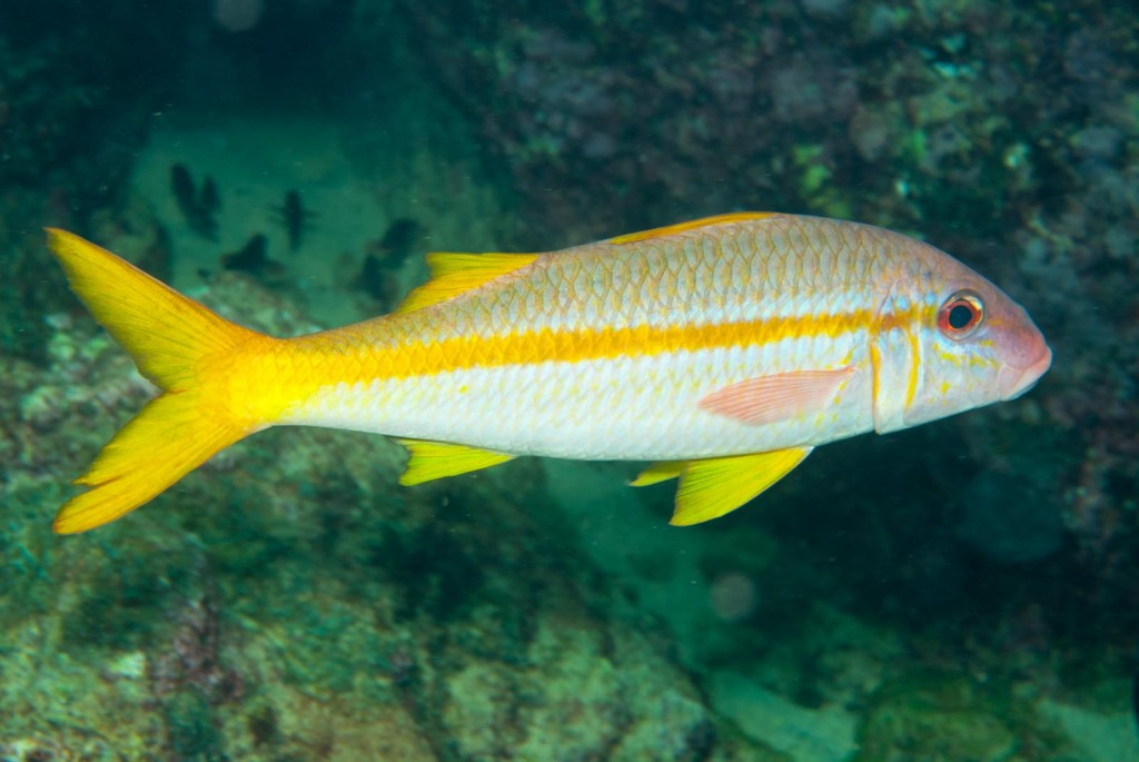 Mulloidichthys martinucus (yellow goatfish)-2629