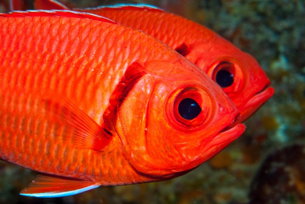Myripristis jacobus (blackbar soldierfish)-1405