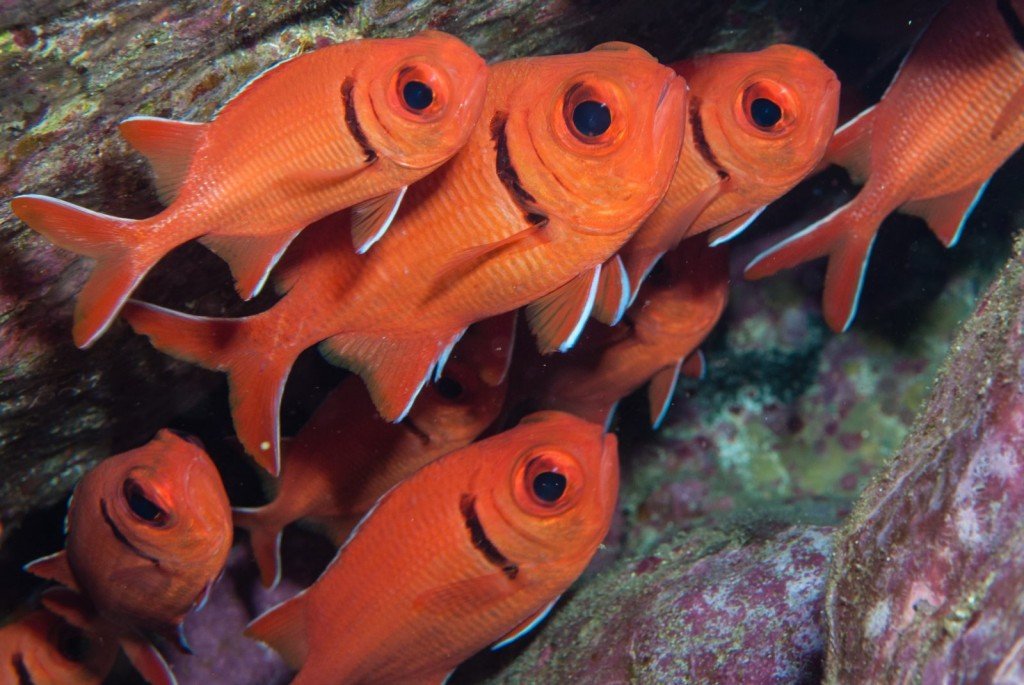 Myripristis jacobus (blackbar soldierfish)-2275