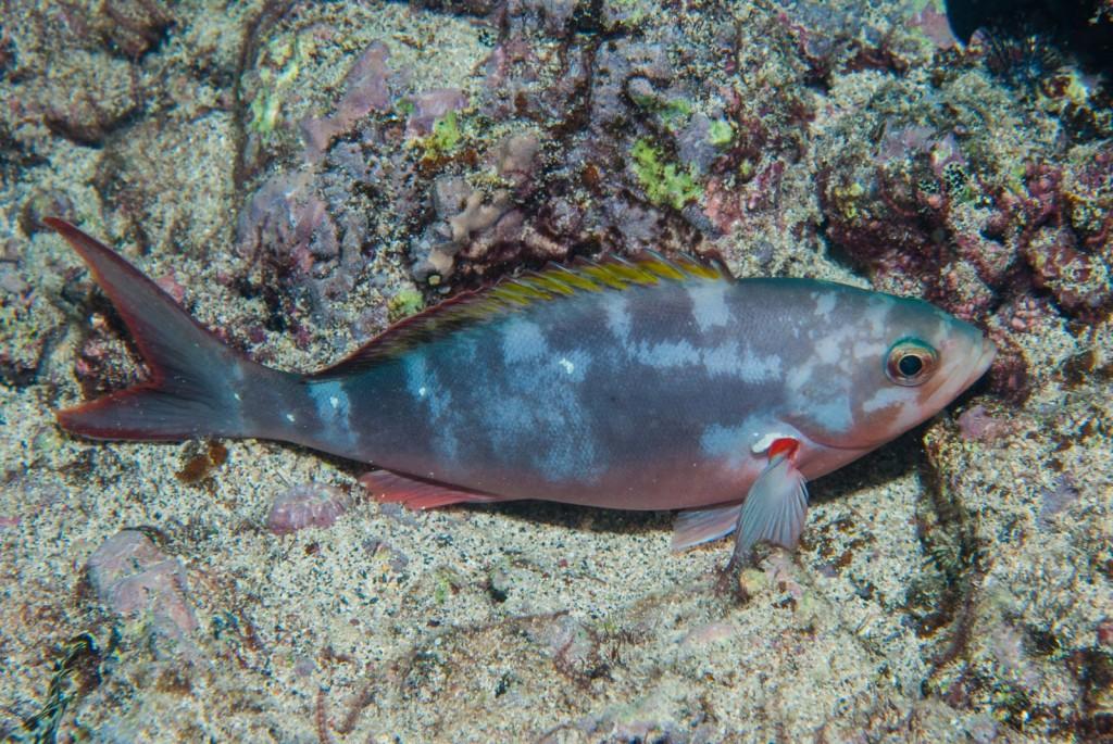 Paranthias furcifer (creolefish)-0172