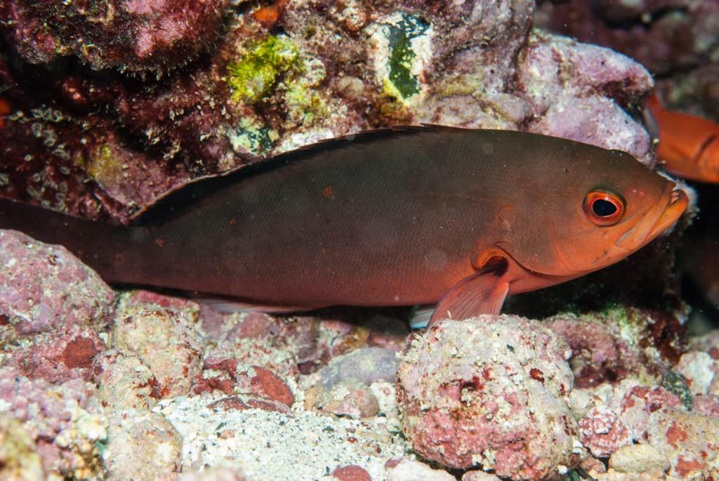 Paranthias furcifer (creolefish)-2646