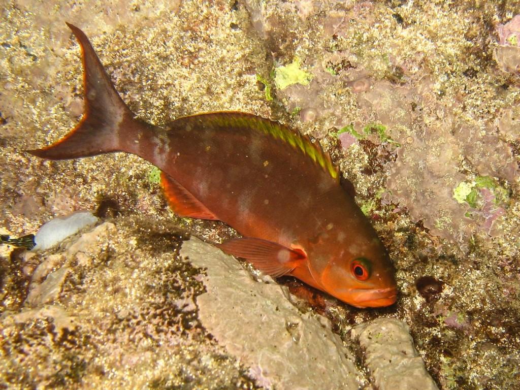 Paranthias furcifer (creolefish)-9147