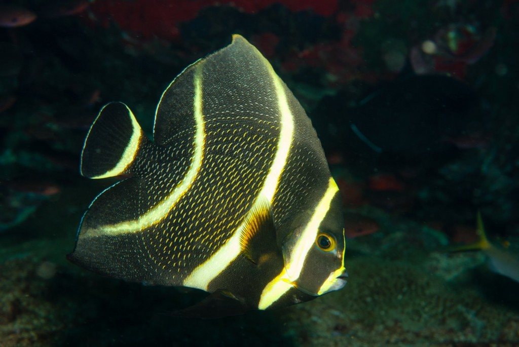 Pomacanthus paru (french angelfish)-2392
