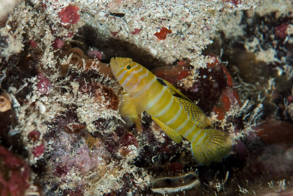 Priolepis ascensionis (Ascension goby)