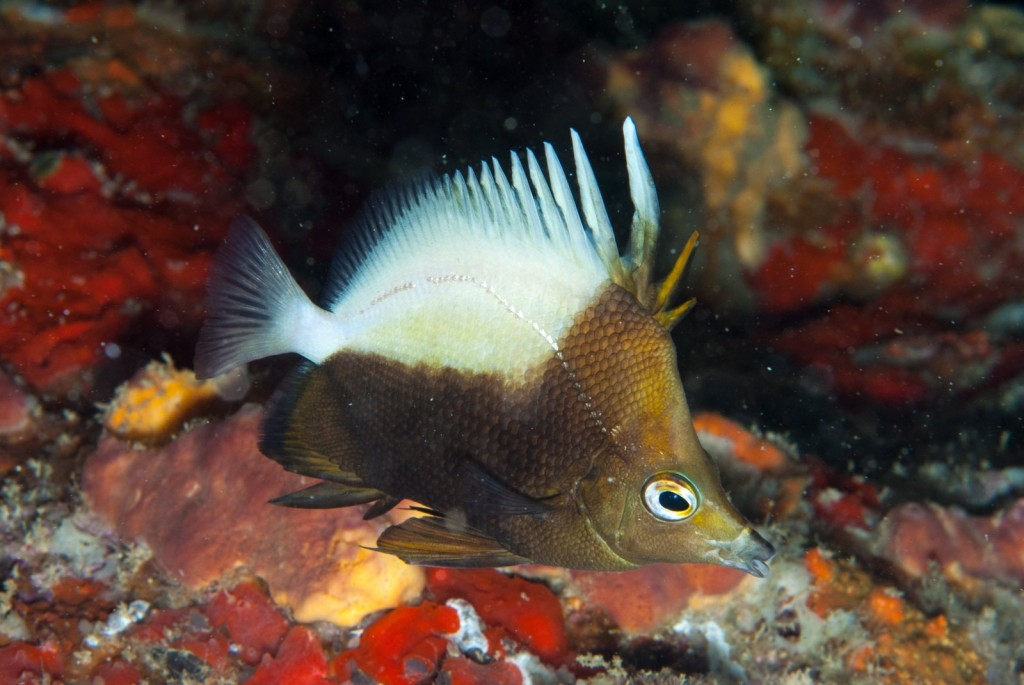 Prognathodes dichrous (hedgehog butterflyfish)-2332