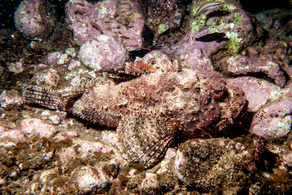 Scorpaena plumieri (spotted scorpionfish)-9556