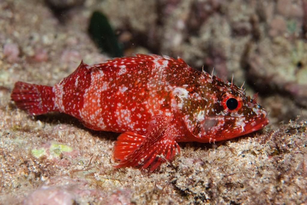 Scorpaenodes insularis (red scorpionfish)-1666