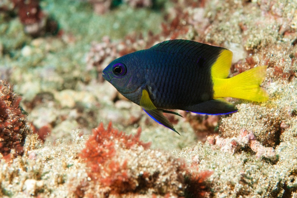 Stegastes lubbocki (Lubbocks damselfish)-2073