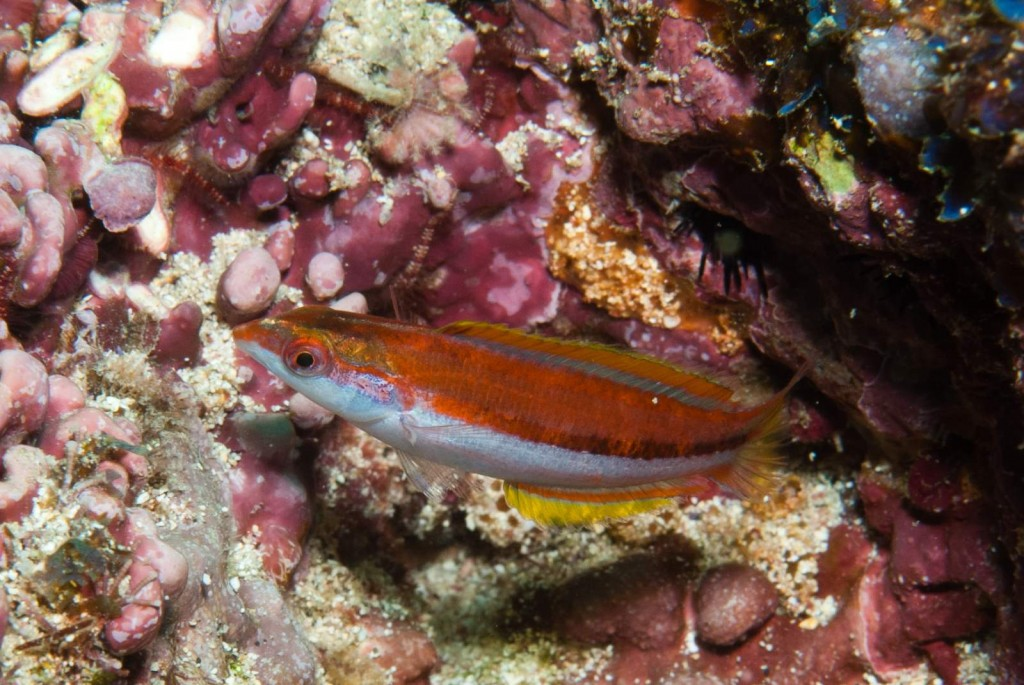 Thalassoma ascensionis (Ascension wrasse)