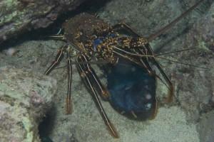 Cray Blackfish